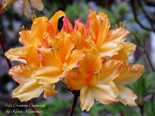 close up of orange and pink azaleas greenery in background